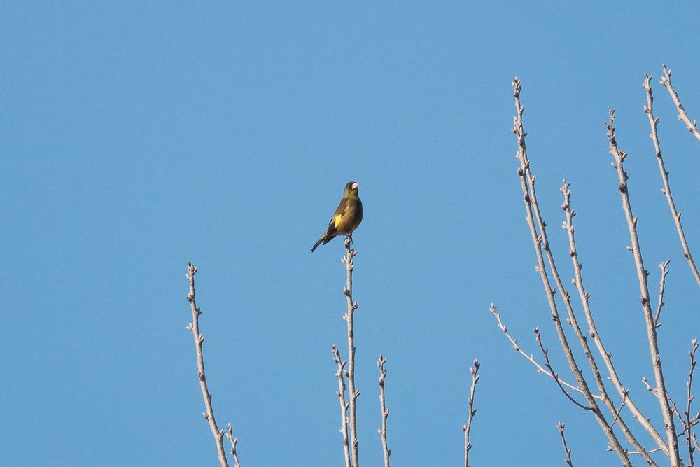 rx10m4 野鳥 カワラヒワ