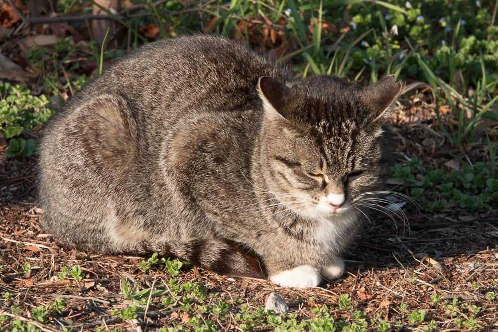 rx10m4 館林市つつじが岡公園 動物 猫2